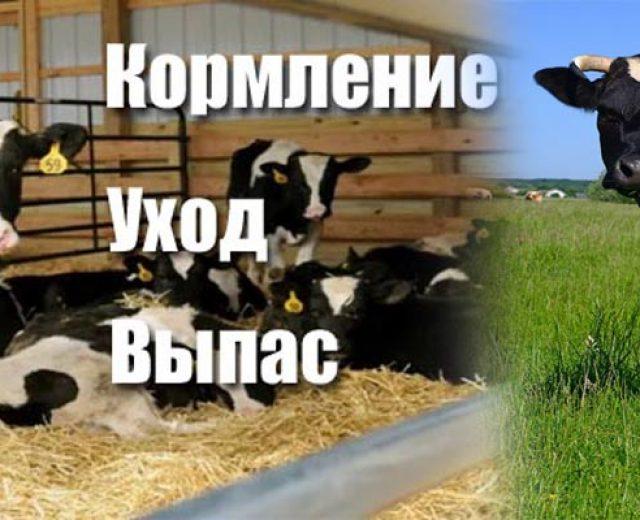 содержание коров и телят